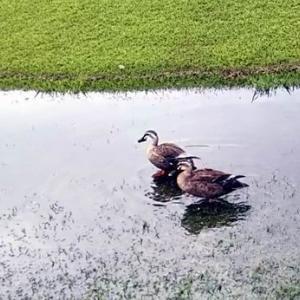 明海大学水たまりのカモさん