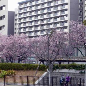 新左近川親水公園の桜並木