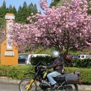 2020年 桜の開花予報が発表 ~ 昨年とほぼ同時期のようです ~