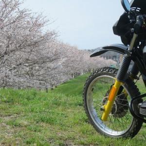 思い出の桜あれこれ