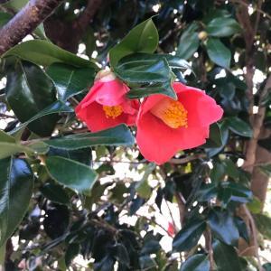 季節の花 椿の花もきれいです。