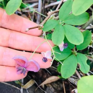 アケビの花 ひっそり、可憐に咲いてました。