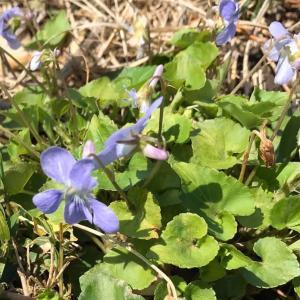 野の花さんぽ 季節の野の花 すみれ
