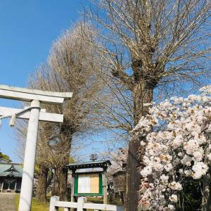 長者天神社 桜満開です。