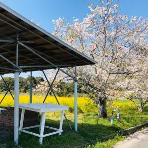 写真でお花見 高秀牧場さんの桜並木の先には、広ーい菜の花畑
