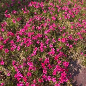 今日の季節の花々 シバザクラ