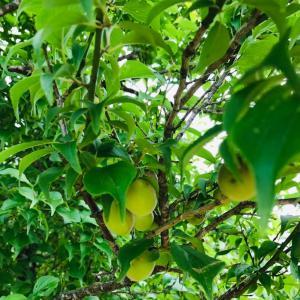 田舎はたけ時間 果物の木 観察してみました。