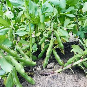 田舎はたけ時間 季節の野菜の様子