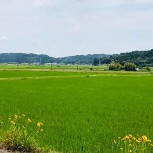 田舎時間 田んぼでは、稲が生長し緑濃くなり、緑一面きれいです。