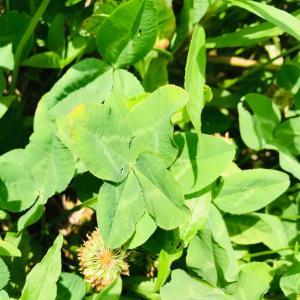 田舎はたけ時間 四つ葉のクローバー発見