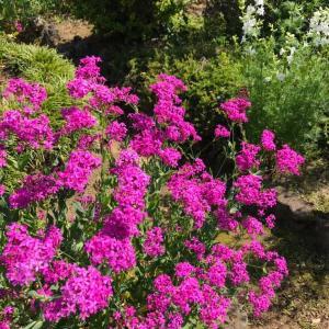 田舎おうち時間 季節の花をお部屋にも ムシトリナデシコ