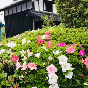 田舎おうち時間 季節の花々 サツキが色とりどりきれいです。