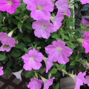 田舎おうち時間 季節の花々 花盛りの長いペチュニア