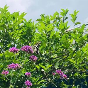 田舎おうち時間 花を飛び交う アゲハチョウ