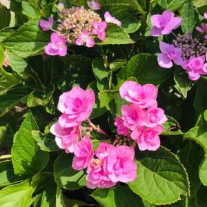 田舎おうち時間 季節の花 あじさい花盛り