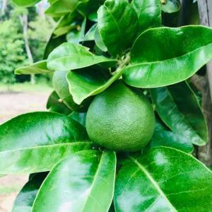 田舎はたけ時間 柑橘類 果実が大きくなってきています。