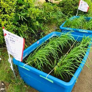 長者小の子どもたちが大型水槽に田植えをした「いすみっこ(有機米)」の様子を見せていただきました。