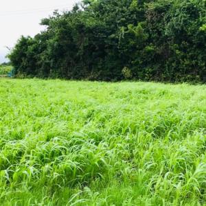 ちまちファーム 緑肥用に栽培中のソルド― 成長してきましたー