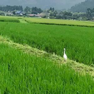田舎時間 緑一面の田園風景にシラサギといすみ鉄道