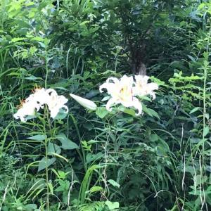 田舎時間 ヤマユリが咲いている場所があり、うれしいです。
