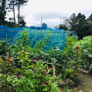 田舎はたけ時間  夏野菜いろいろ 畑が大賑わい