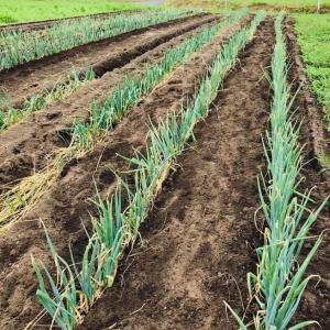 学校給食用野菜栽培チャレンジ!ちまちファーム 長ネギ定植完了。