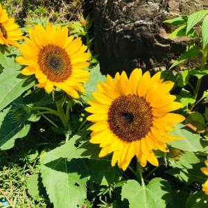 田舎おうち時間 季節の花々 ミニひまわり花盛り