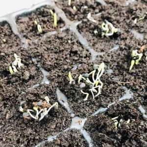 学校給食用 有機野菜栽培チャレンジ! ちまちファーム たまねぎの芽が出ましたー。