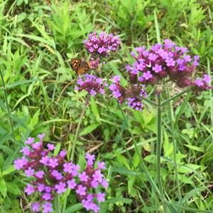 田舎はたけ時間 季節の野の花いろいろ