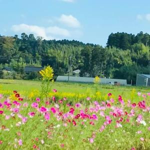 田舎時間 季節の花 コスモス