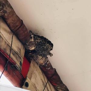 田舎時間  つばめの巣 ヒナ巣立った後、巣の修繕?