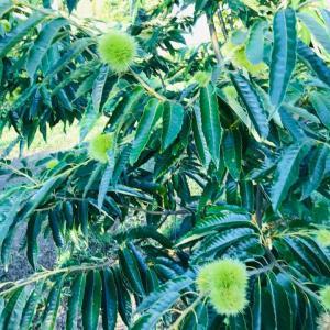 いすみ暮らし モモ、ブドウ、ミカン、クリ、ブルーベリーなど~果樹もにぎやかに