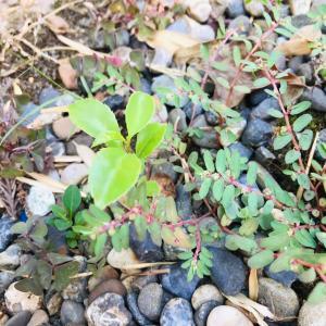 いすみ暮らし 小さな木の芽が出ていて、気になりました。