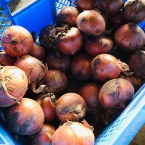 ちまちファーム 学校給食用有機野菜栽培チャレンジ! 今年のたまねぎ納品量ドーンとUP!