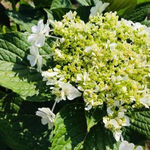 いすみ暮らし 夏にあじさいの花 白色で涼し気に咲いています。