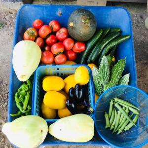 いすみ暮らし 両親の野菜づくり 色とりどりの夏野菜大収穫