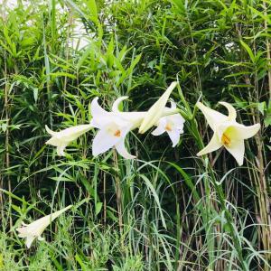 この時期、野や林などにユリの花が自生しています。