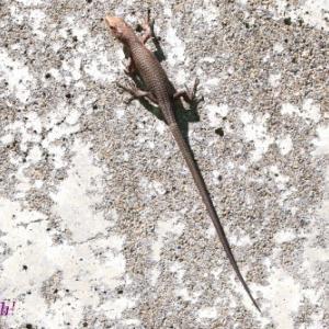 ニホンカナヘビ。。。