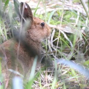 エゾユキウサギ。。。