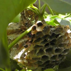 知らぬ間にできて崩壊していた大きな蜂の巣