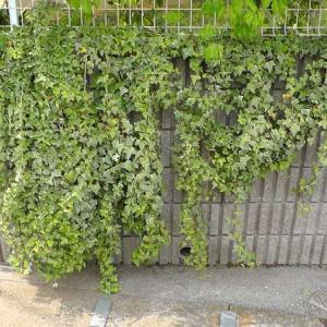 アイビー(ヘデラ)で擁壁を緑化