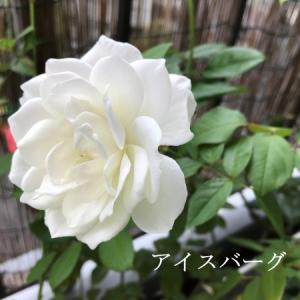薔薇が元気です♪