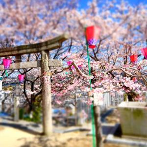 桜満開!市井に人の花咲かず(/ω\)