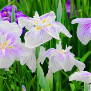 花菖蒲と花紫陽花♪もうじき雨の季節になりますね!