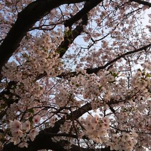 桜おさめ?