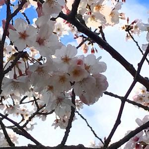 海岸通りも桜が満開