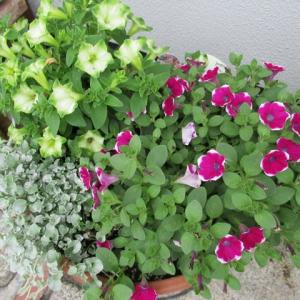 紫陽花の季節になりました♪