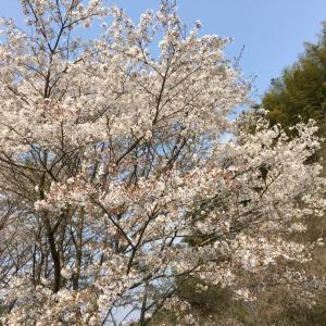 桜満開とBBQ