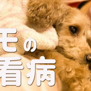 【感動】愛犬が自分を犠牲にしてまでも看病してくれた⁉️【トイプードルのモモ】動画アリです☆