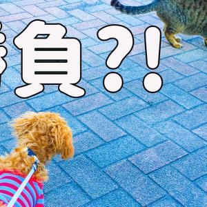猫と対決⁉️ビビりの5ヶ月の子犬❗️貫禄のある猫に立ち向かえる…⁉️(動画アリです☆)
